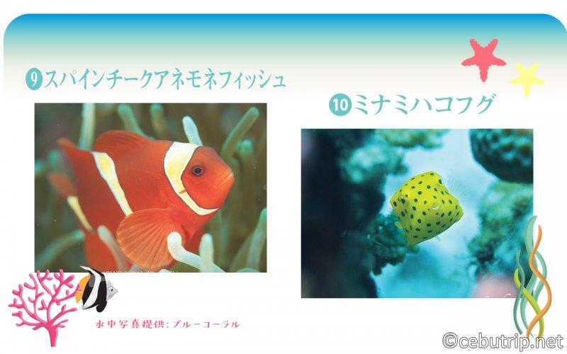【セブ】体験ダイビングで必見!マクタン周辺で見れるお魚図鑑