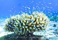 Enjoy the Full Blast Dive with Blue Coral