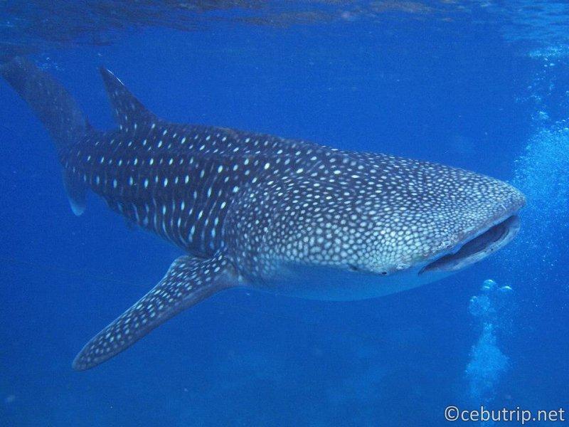野生のジンベイザメと泳げる大人気ツアー オスロブ
