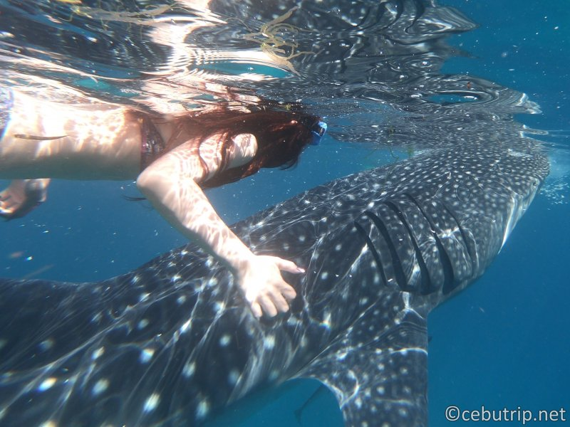 Get great memories with whale sharks! Great force Oslob day tour!