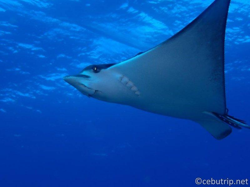 MONAD SHOAL:マラパスクアで最も有名なニタリ(オナガザメ)が多いポイント。マンタ