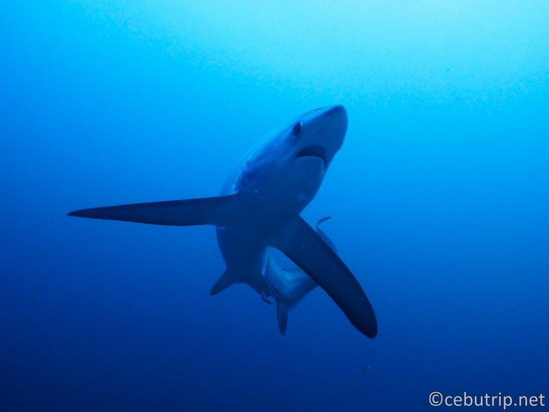 ニタリ ニタリザメ サメ ダイビング