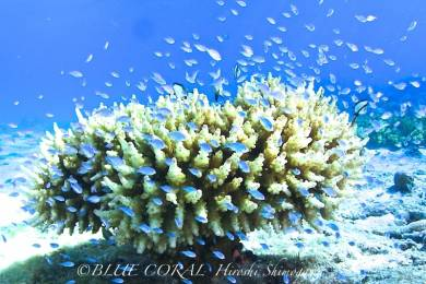 BLUE CORAL #