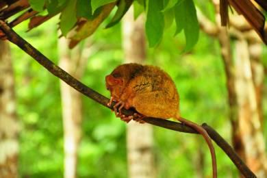世界最小のメガネザル「ターシャ」 Bohol Island
