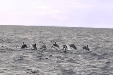 【ボホール】野生のイルカの群れに大興奮!「イルカウォッチング」! #1